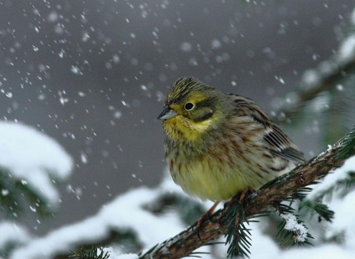 Maaliskuu: Keltasirkku Kuva: Jouko Pirppu