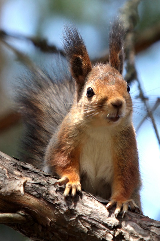 Kesäkuu: Orava Kuva: Anne Jaatinen, Syvänniemi