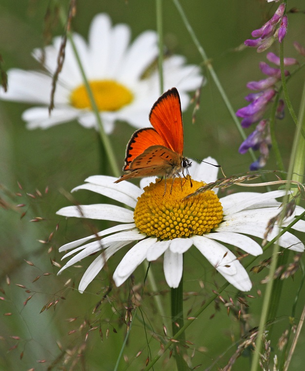 Lokakuu: Kukkaperhonen  Kuva: Marja Aira